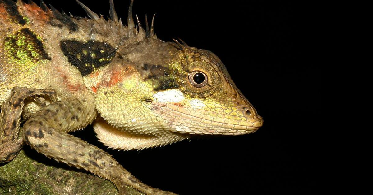 Photos of the new species of dragon lizards discovered in the Western Ghats