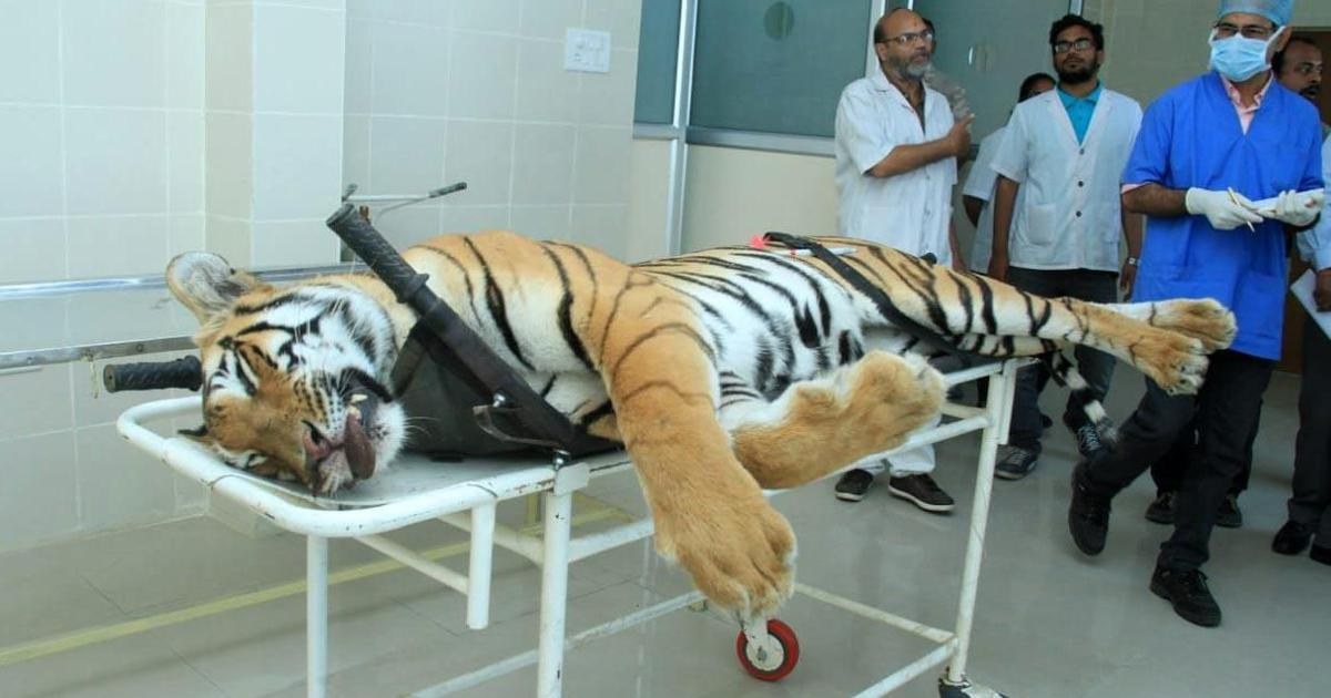 Maharashtra government sets up panel to investigate tigress Avni's killing