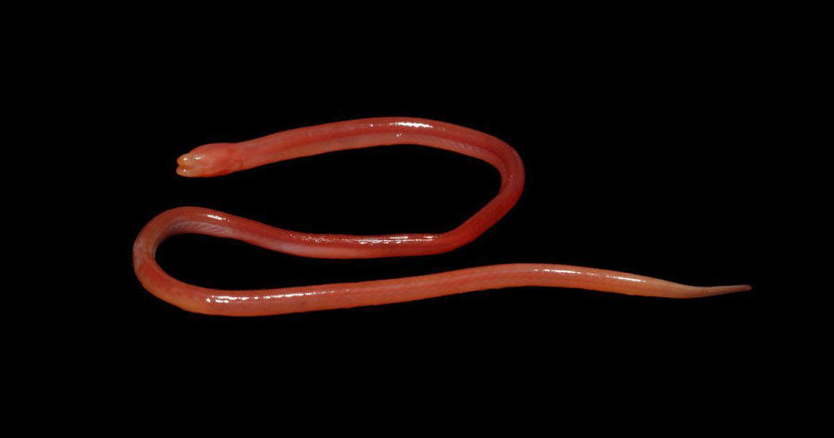 Small wonder: Biologist discovers a blood-red, snake-like fish in Meghalaya