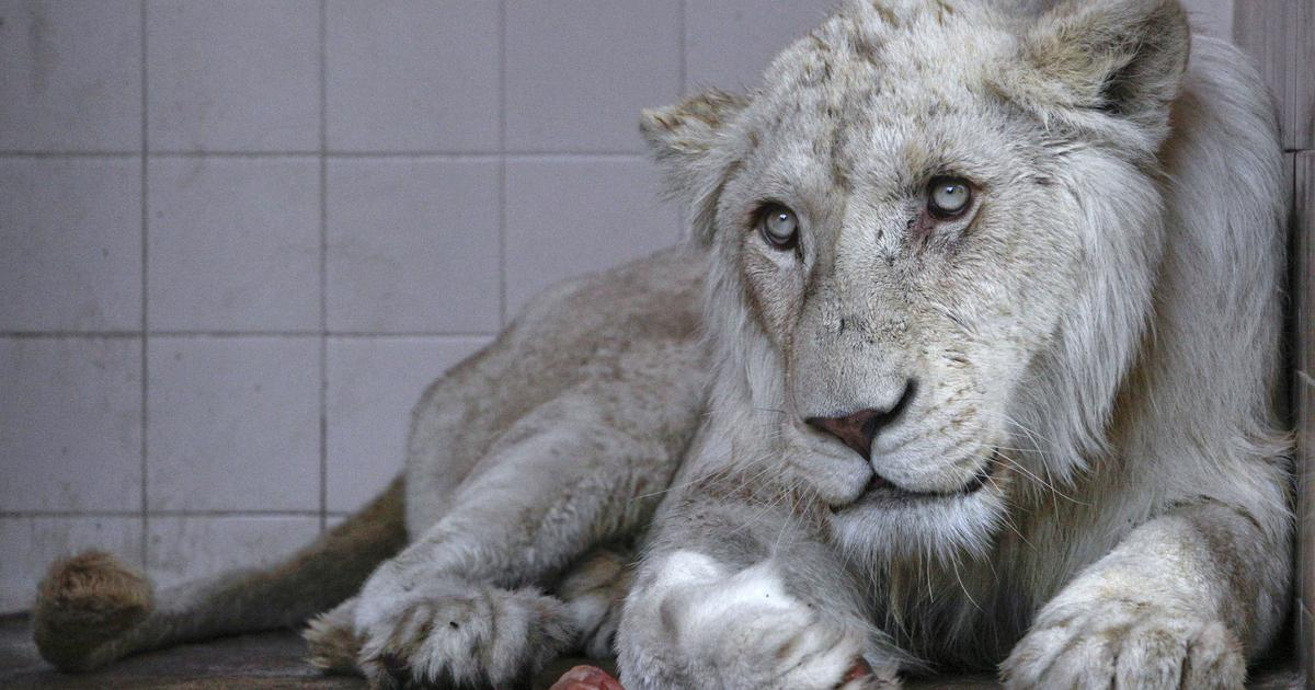A lion as a pet: Inside the untamed market for wild animals in Pakistan