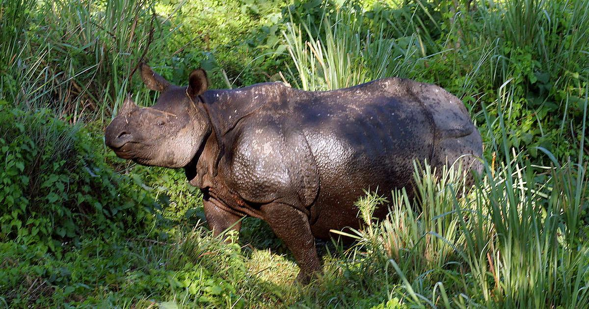 West Bengal: Rhinoceros found dead with horn missing at Gorumara National Park