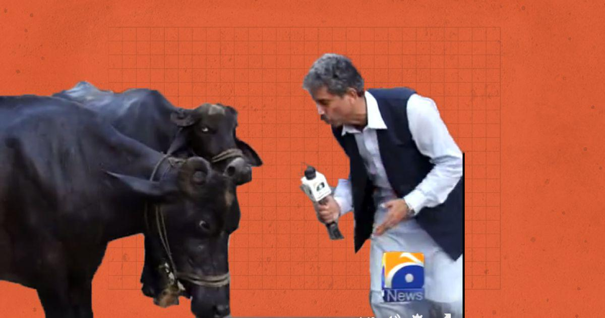 New Year smiles: How do you report on cattle? By interviewing them, of course, as this reporter does