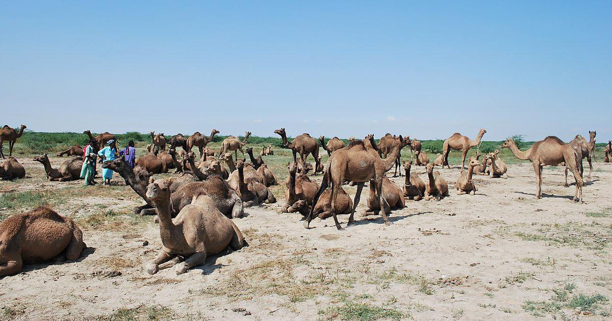 India's swimming camels are endangered by destruction of mangroves in Kutch