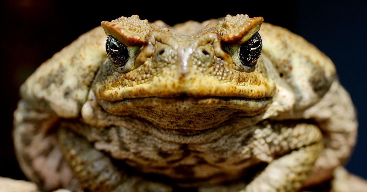 Cash for toads: Australian politician's idea to control spread of invasive species is flawed