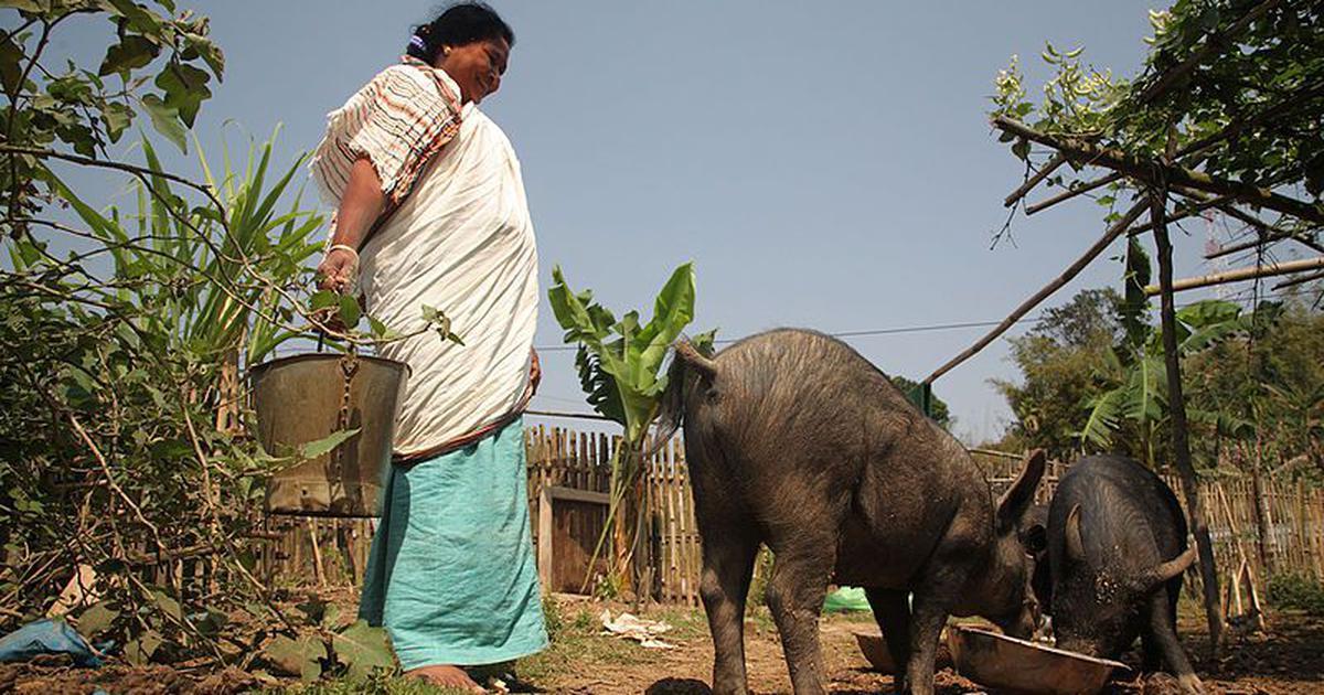 Mizoram bans import of pigs to prevent disease outbreak