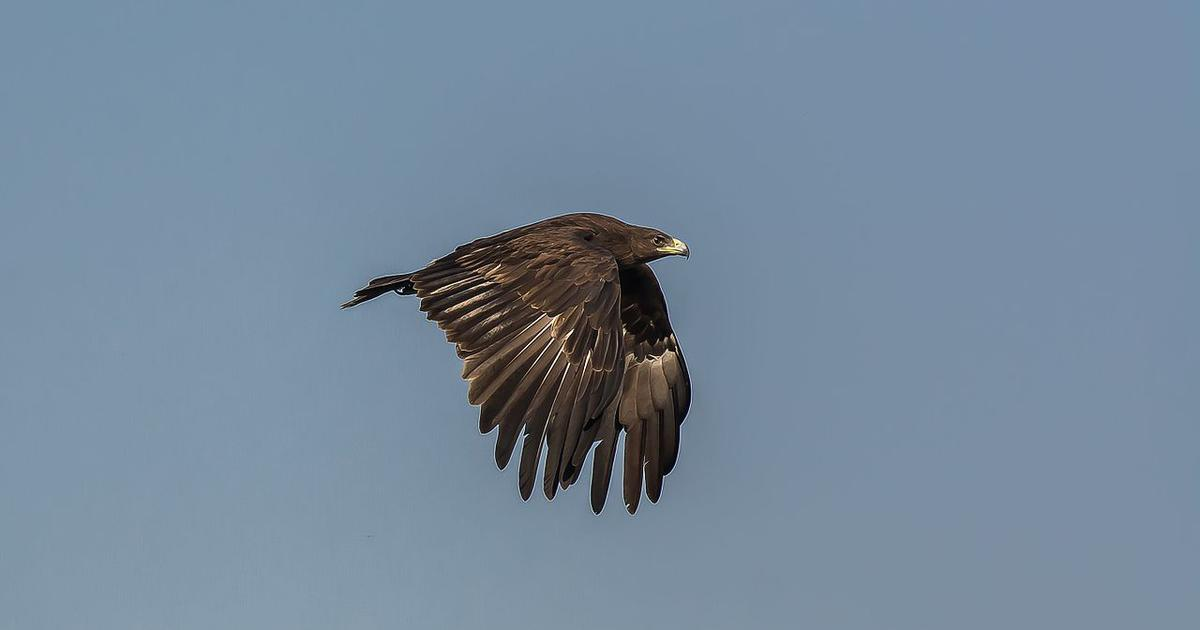 Migratory harrier birds are no longer flocking in large numbers to India