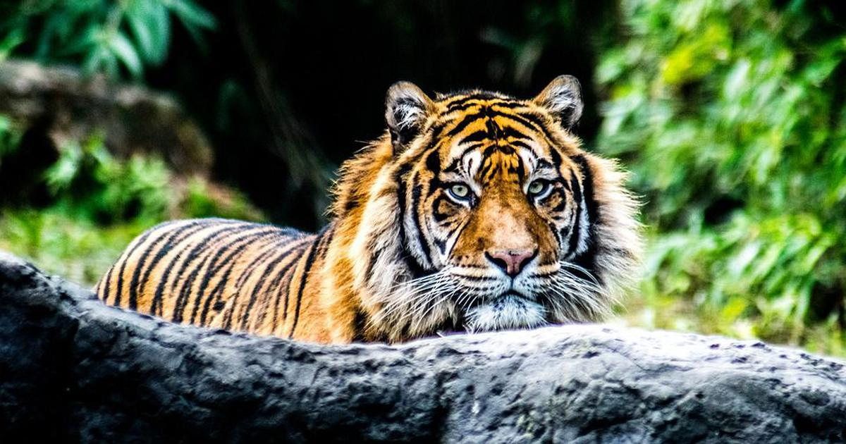 Upper Himalayas across Bhutan, India and Nepal may be stable habitats for tigers: Global Tiger Forum