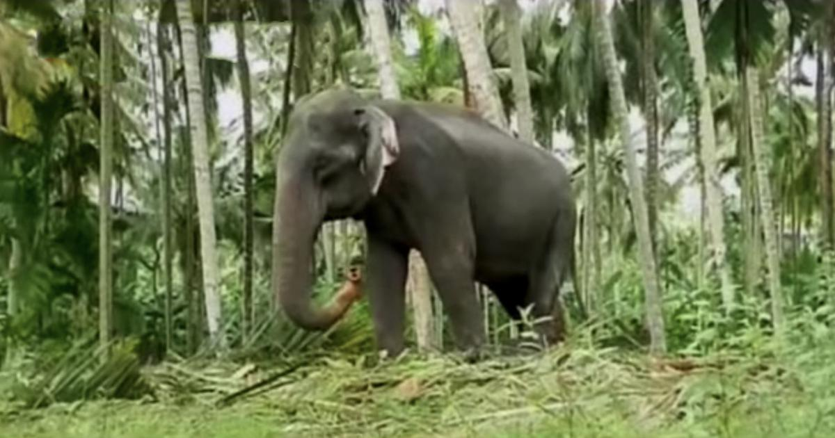 Kerala: Asia's oldest elephant Dakshayani dies in shelter home at 87