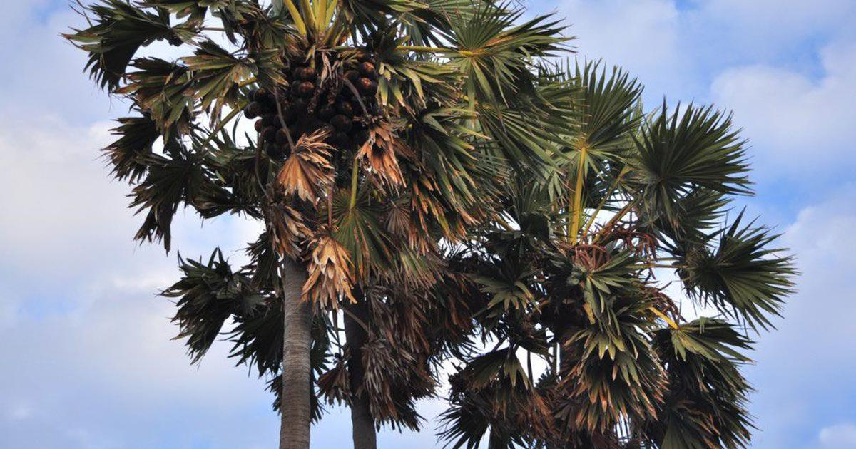 Tamil Nadu's palm trees withstood cyclones and climate change – but neglect threatens their survival