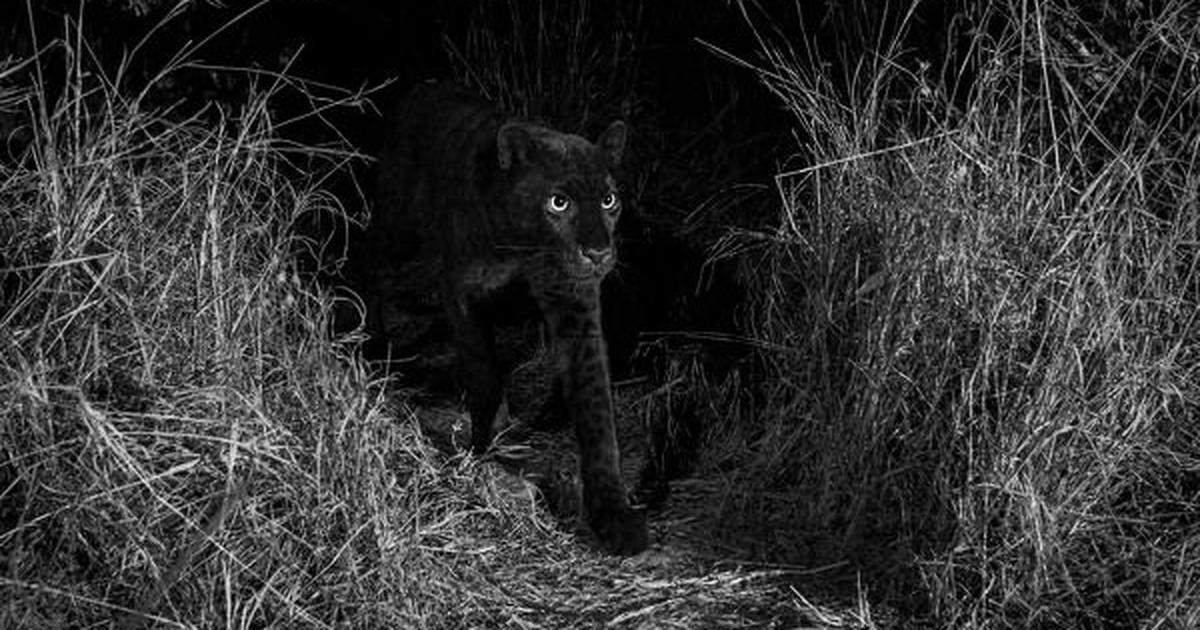 Africa: Rare black leopard captured on camera in Kenya