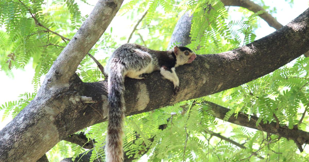 A lesser-known grizzled giant squirrel species in Kerala is at the risk of dying out
