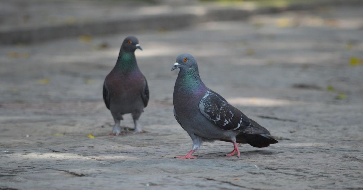 From busking pigeons to headbanging sea lions: Can animals find the beat in music and dance along?