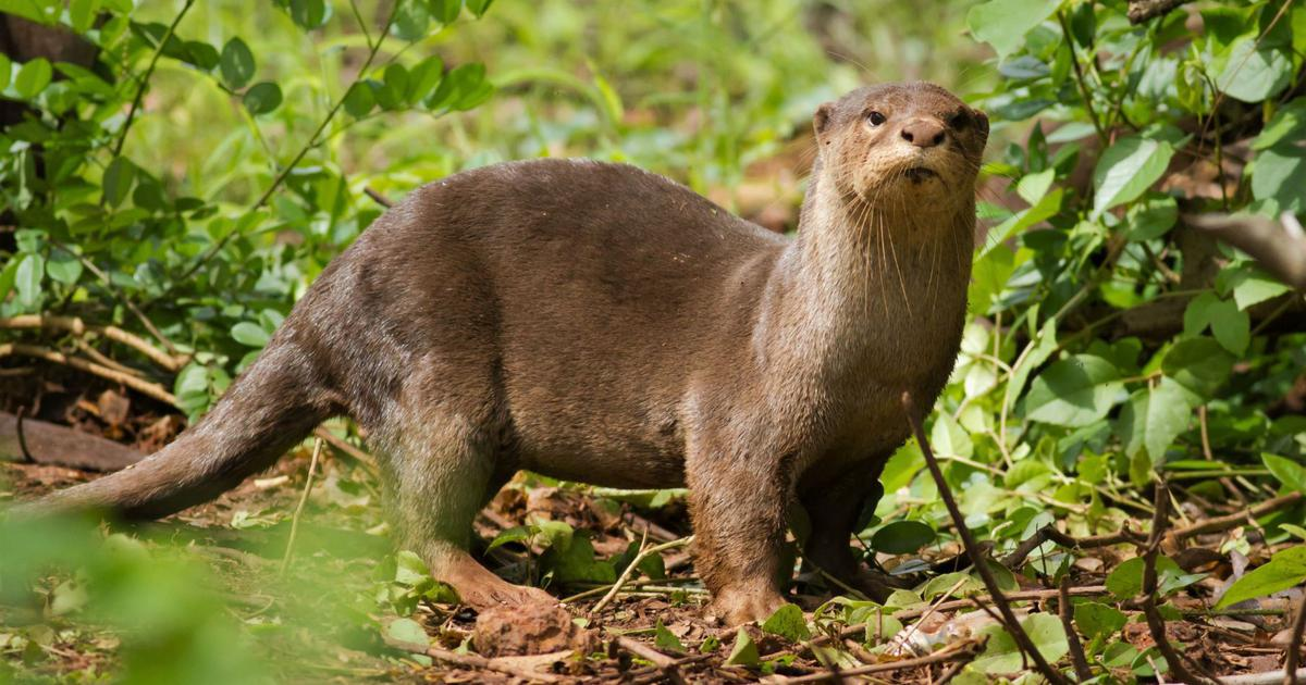 Behold the Chorao island otter, an unexpected resident of Goa's brackish mangroves