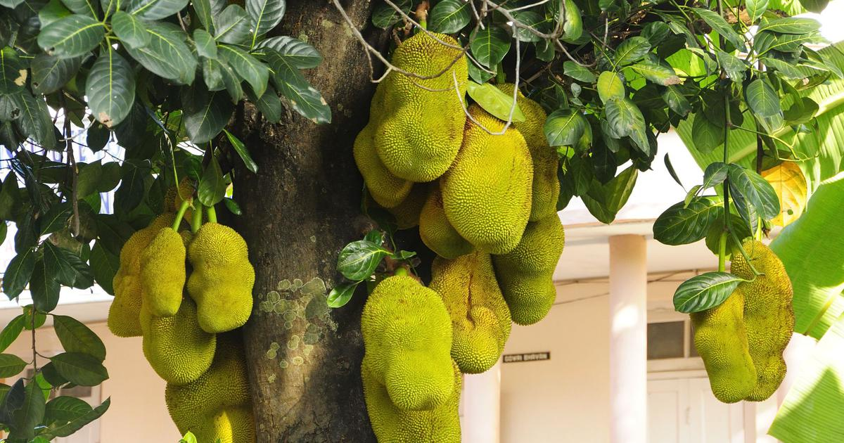 Thousands of years before becoming a vegan hit, the jackfruit was an intrinsic part of Sangam poetry
