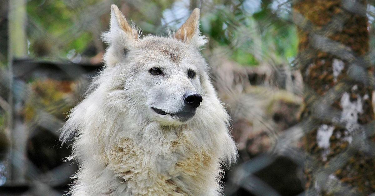 Himalayan wolf should be categorised as a distinct species, recommends study