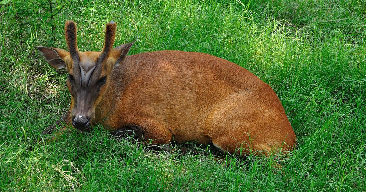 The red barking deer enigma: A little-known Indian species has been puzzling scientists for decades