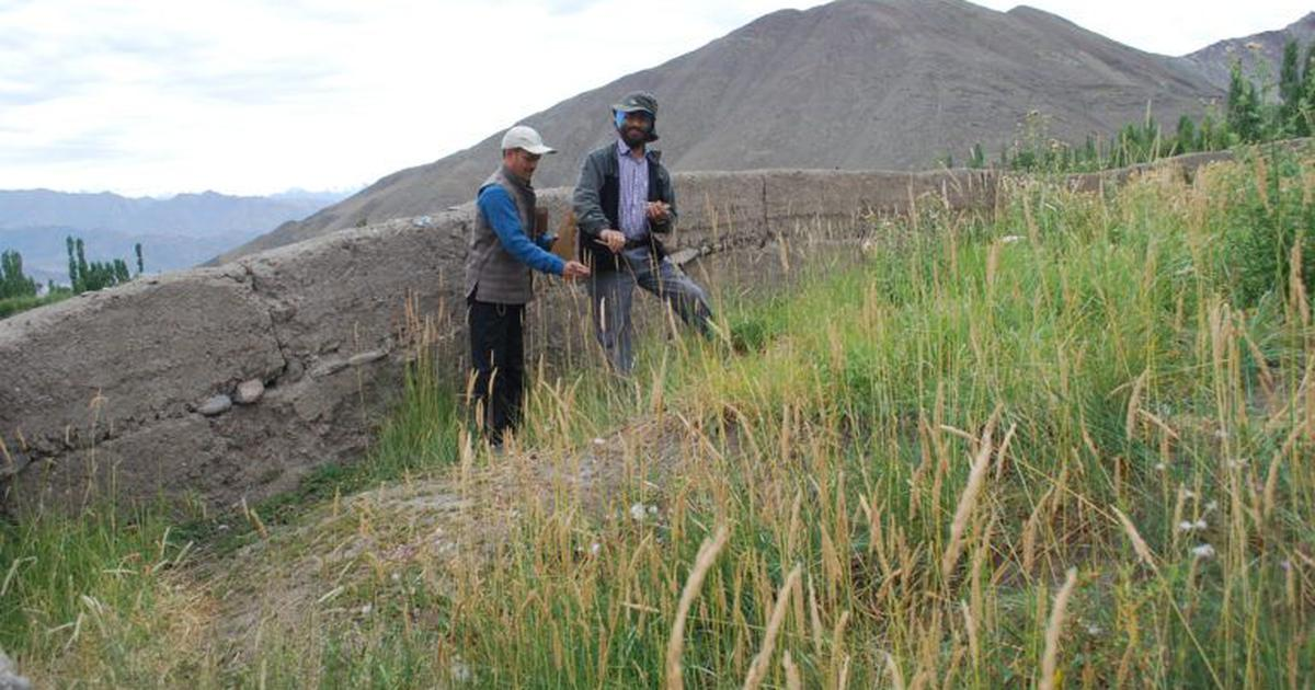 Climate change: Wild relatives of wheat in Ladakh may hold key to hardier, drought-resistant crops