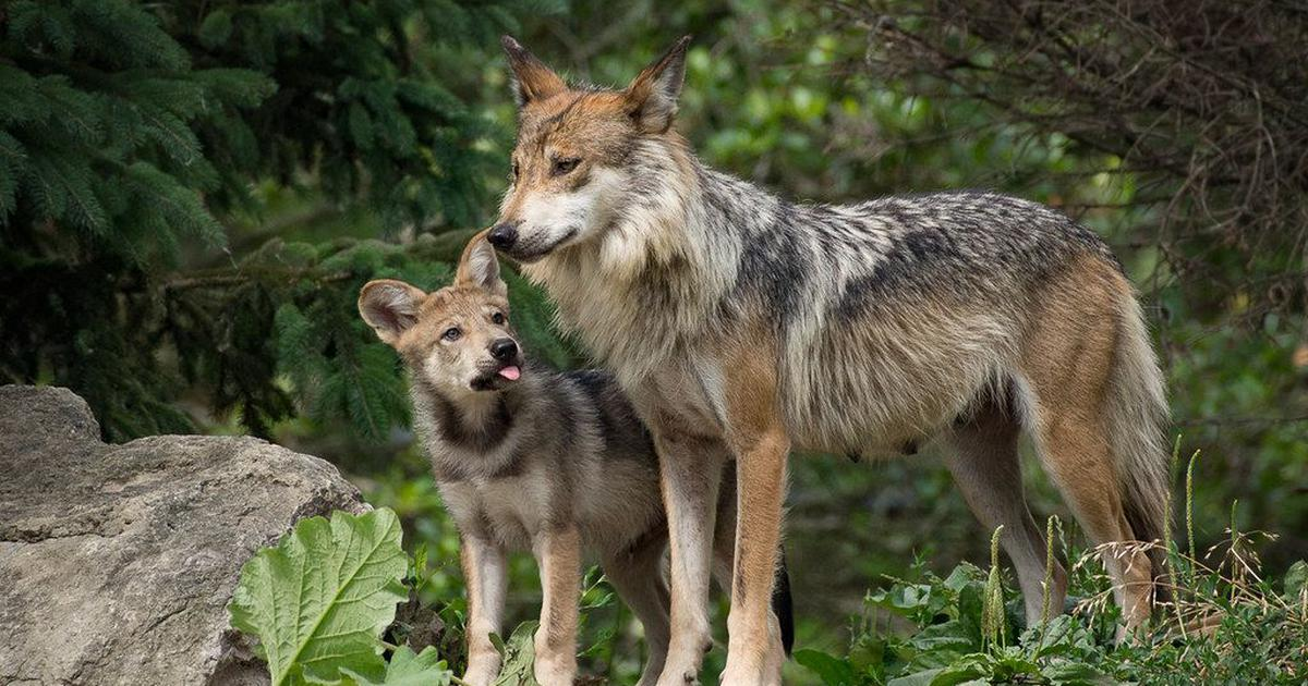 Animal tales: Is there any difference between a dog and a wolf?