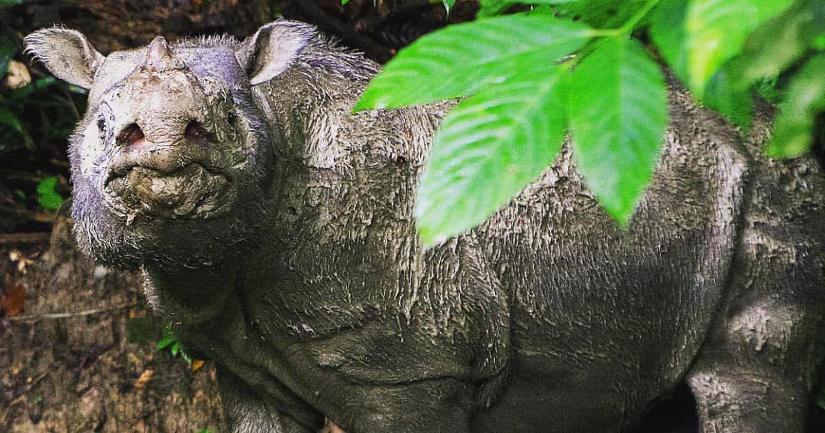 Malaysia's last male Sumatran rhinoceros dies at 30