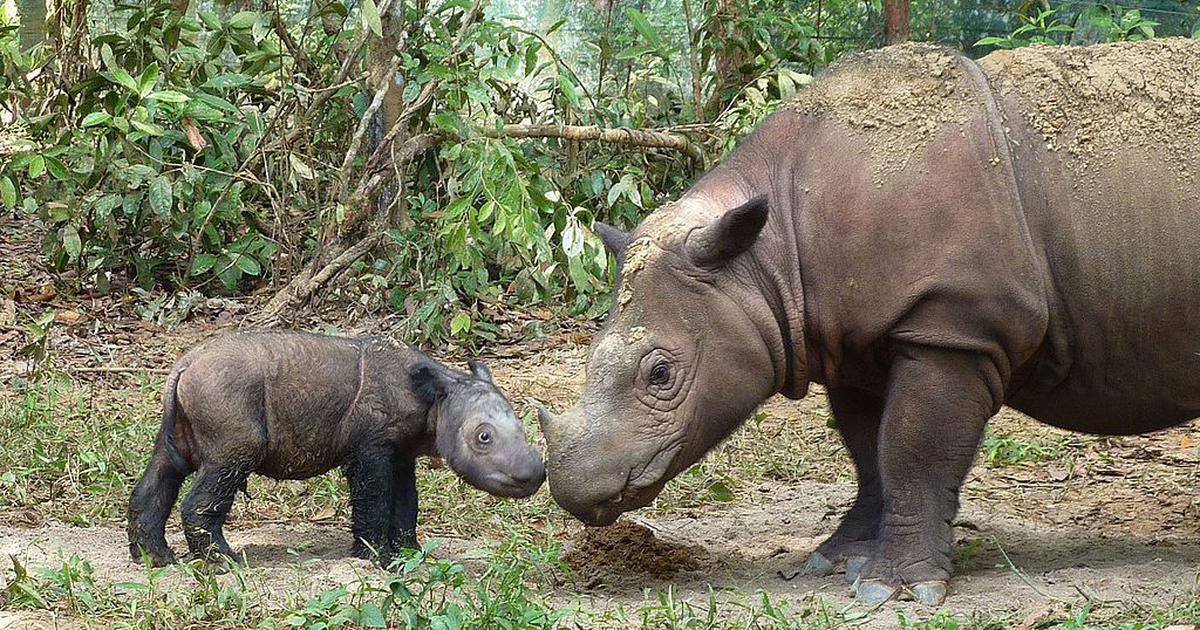 As last male Sumatran rhino in Malaysia dies, scientists race to save the species