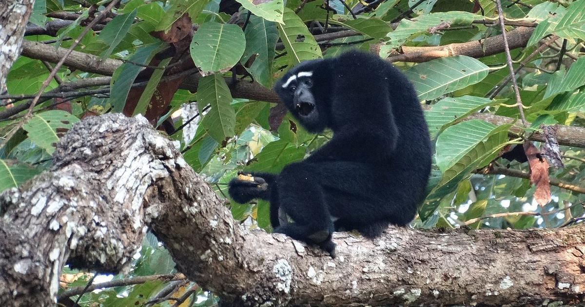 In Meghalaya, tribal communities join hands to ensure that the hoolock gibbon's song stays alive