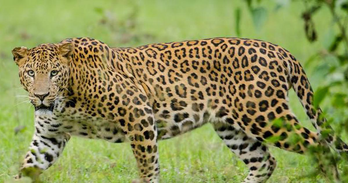 d7f2e8fa384 In the shadow of tiger conservation, poaching of leopards in India grows  unchecked
