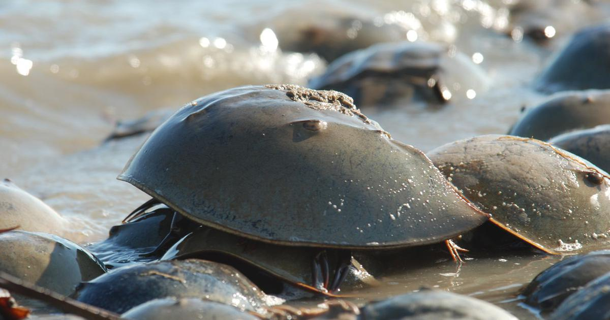 Horseshoe crab: The living fossil that survived for 450 million years is facing a threat in India