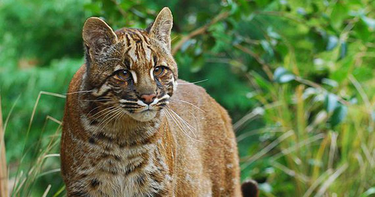 Slinking through Dibang Valley – researchers find six colour forms of the Asiatic golden cat