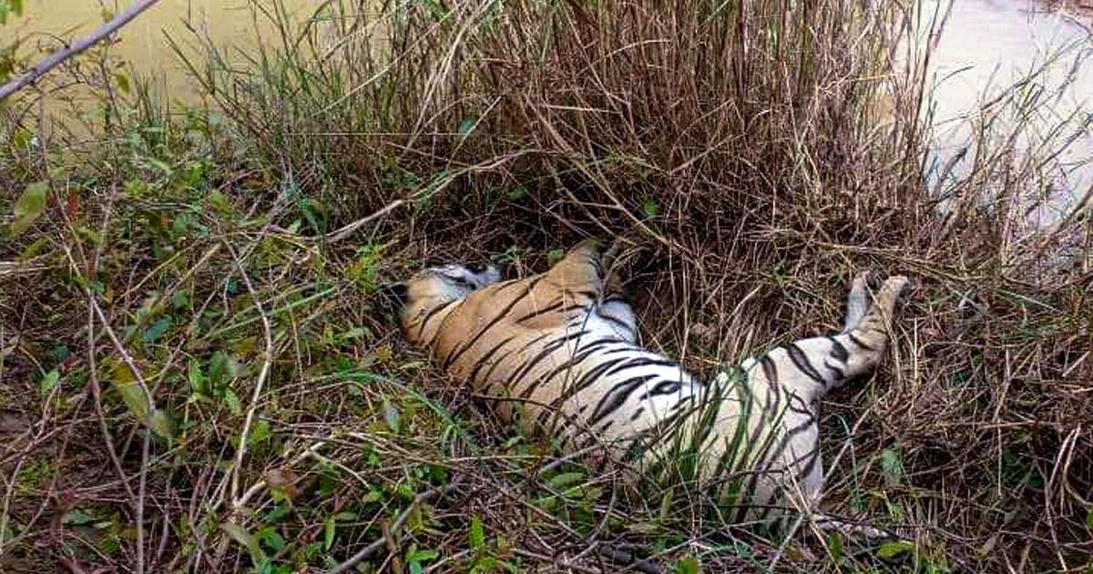 Maharashtra: Tigress, two cubs found dead in forest in Chandrapur district