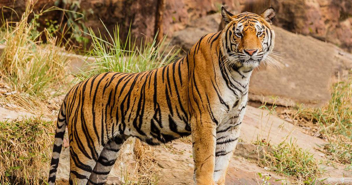 The rise in India's tiger population is only half the story. The other half is less rosy
