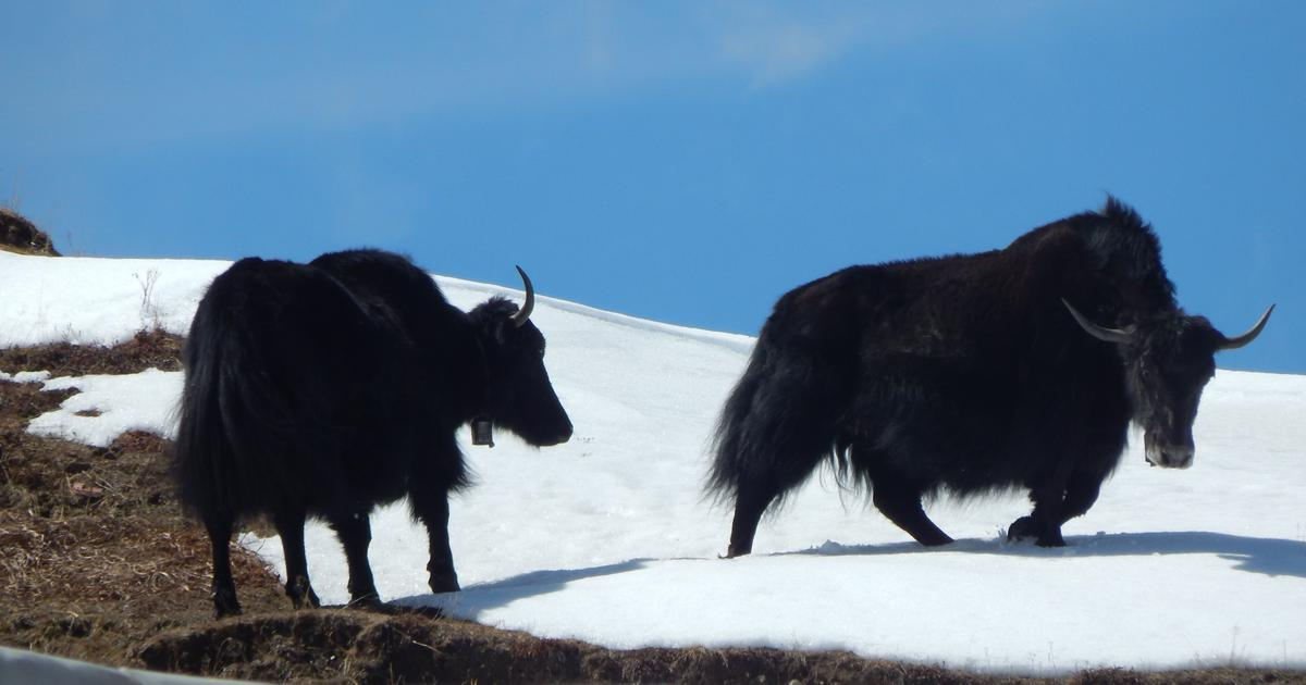 Studying the wild yak droppings may help understand why woolly mammoths and woolly rhinos died out