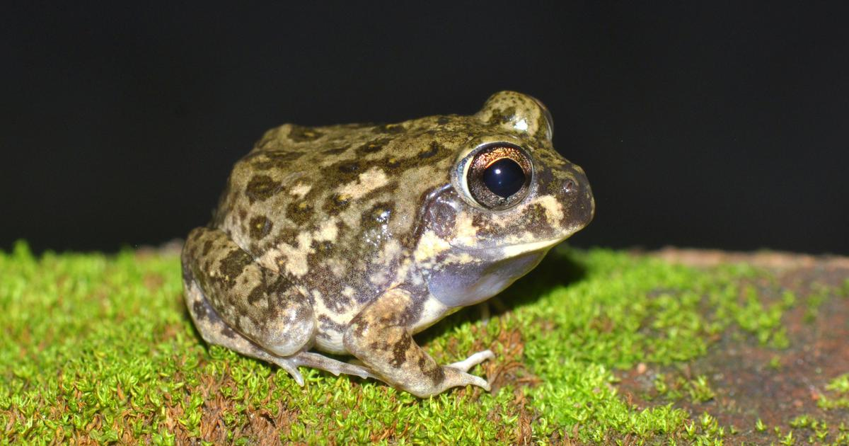 Magadha Burrowing Frog: A new frog has been discovered for the first time in Jharkhand and Bihar