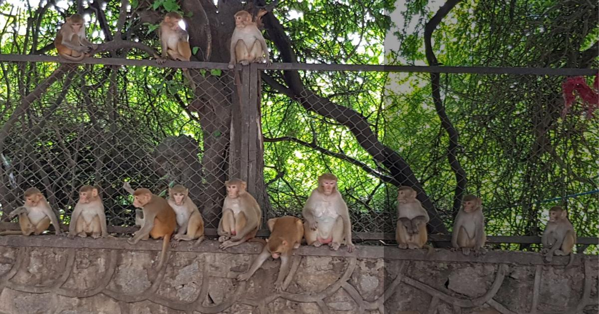 Delhi government has a new strategy to curb monkey attacks: An area-wise census