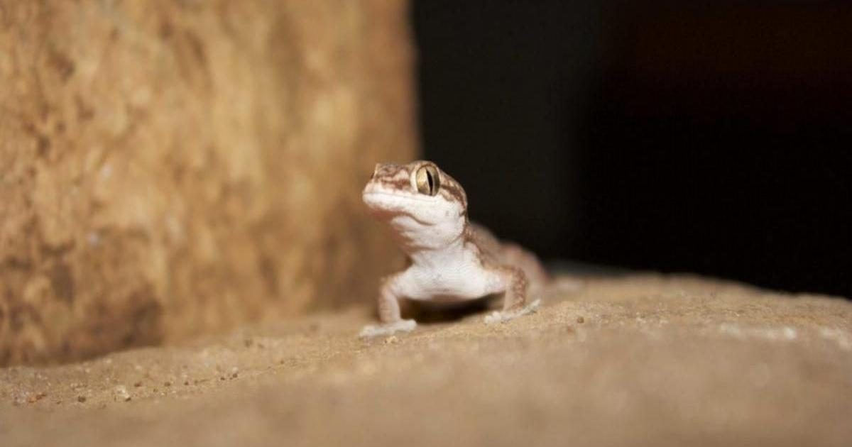 How past climatic events influenced the evolution of Indian geckoes