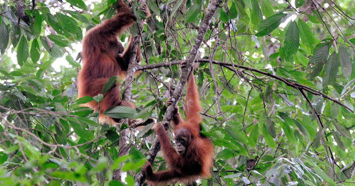 The chocolate you love may be killing endangered orangutans in Sumatra