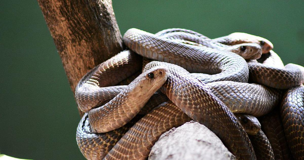 India has 60 species of poisonous snakes, but only a single type of antivenom. It's not enough