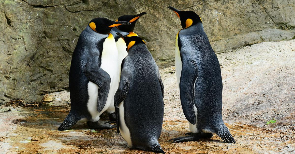 Ancient penguins were as tall as humans. Then came along this species