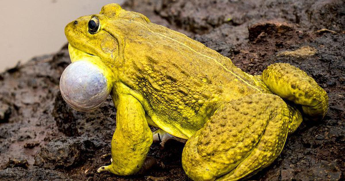 The cannibalistic Indian bullfrog is wreaking havoc in the Andamans