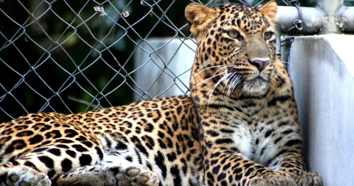 In a Himachal village, folklore has shaped residents' relationship with leopards