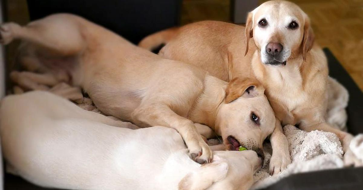 Thinking of neutering your dog early? This might give you pause