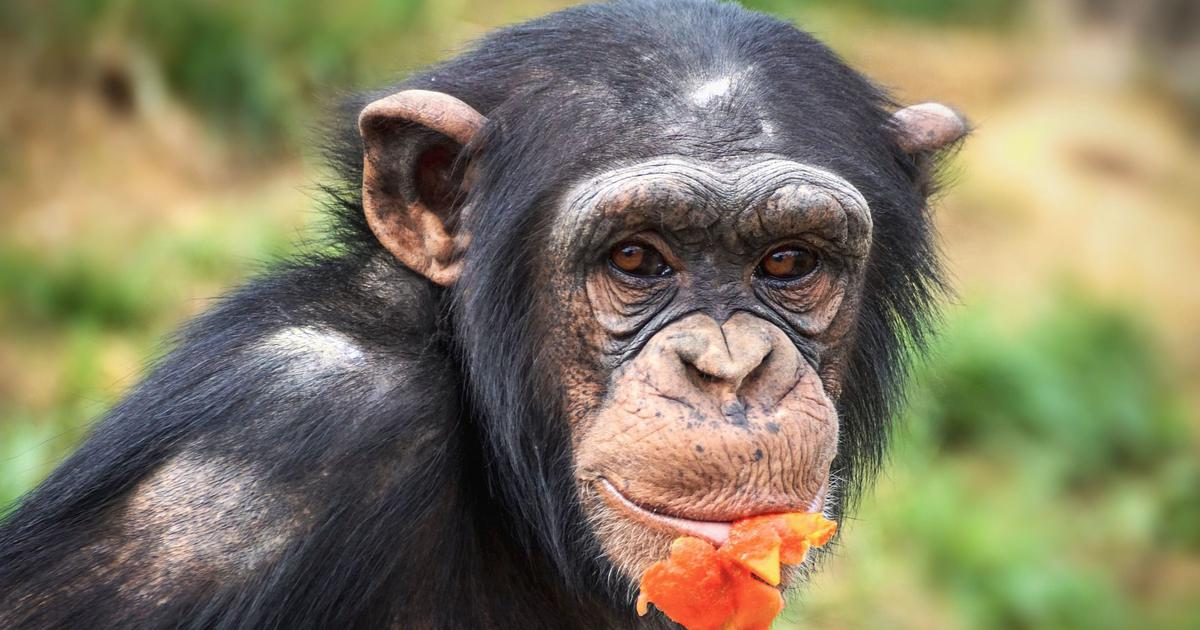 Smiling chimpanzees on Instagram are not cute – they are under stress and often mistreated