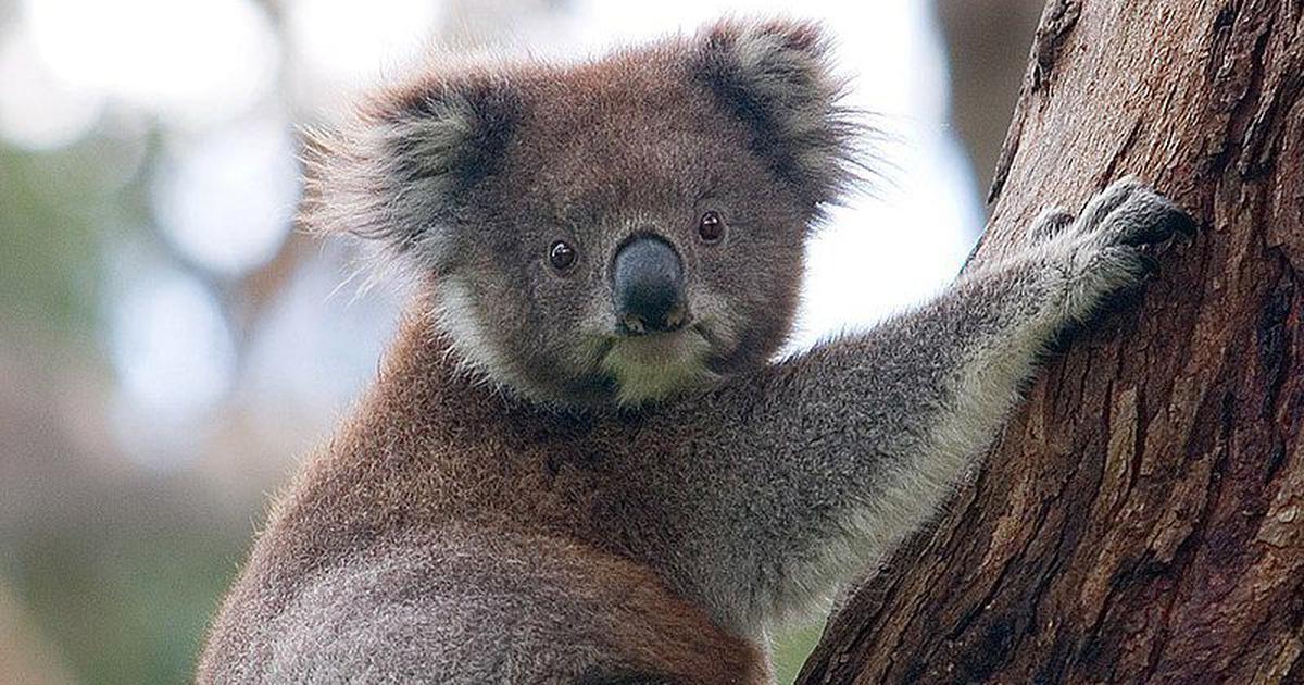What The Australia Bushfires Mean For Its Most Enduring Tourism Icon The Koala Bear