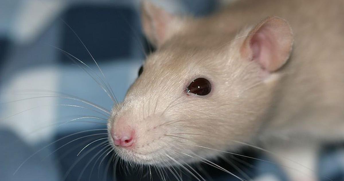A mathematical equation hidden in rat whiskers can be used to design railway tracks