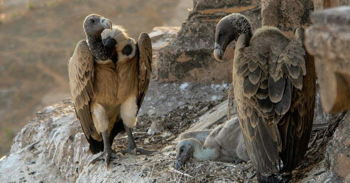 Tightening the ban on a cow medicine can save India's vultures