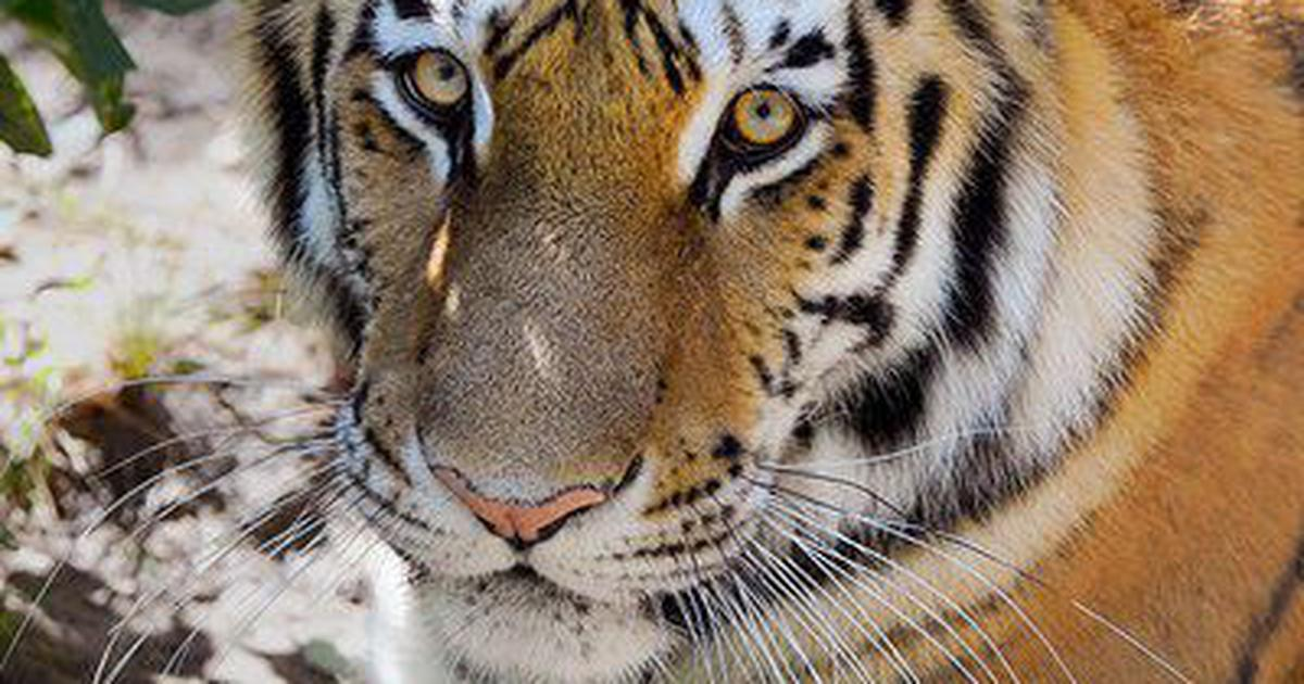 Coronavirus: Tiger found infected in New York zoo