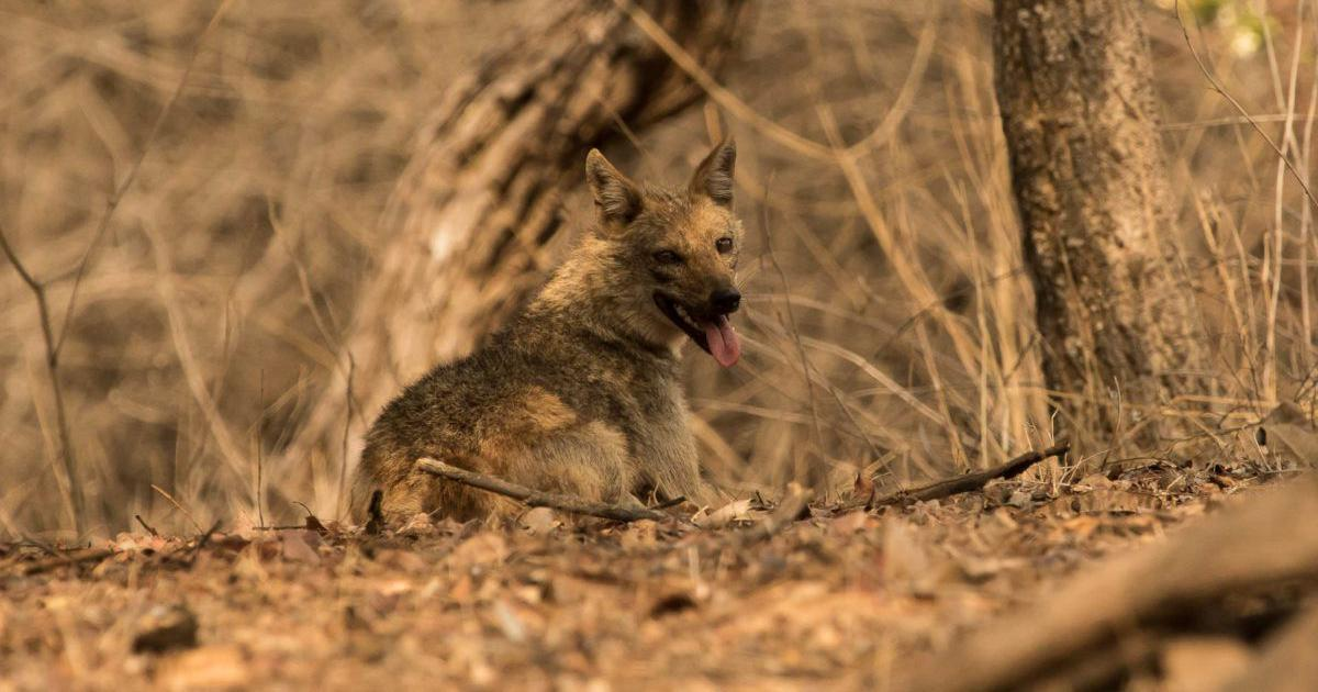 In India, jackals are being poached for their 'magical', non-existent horns