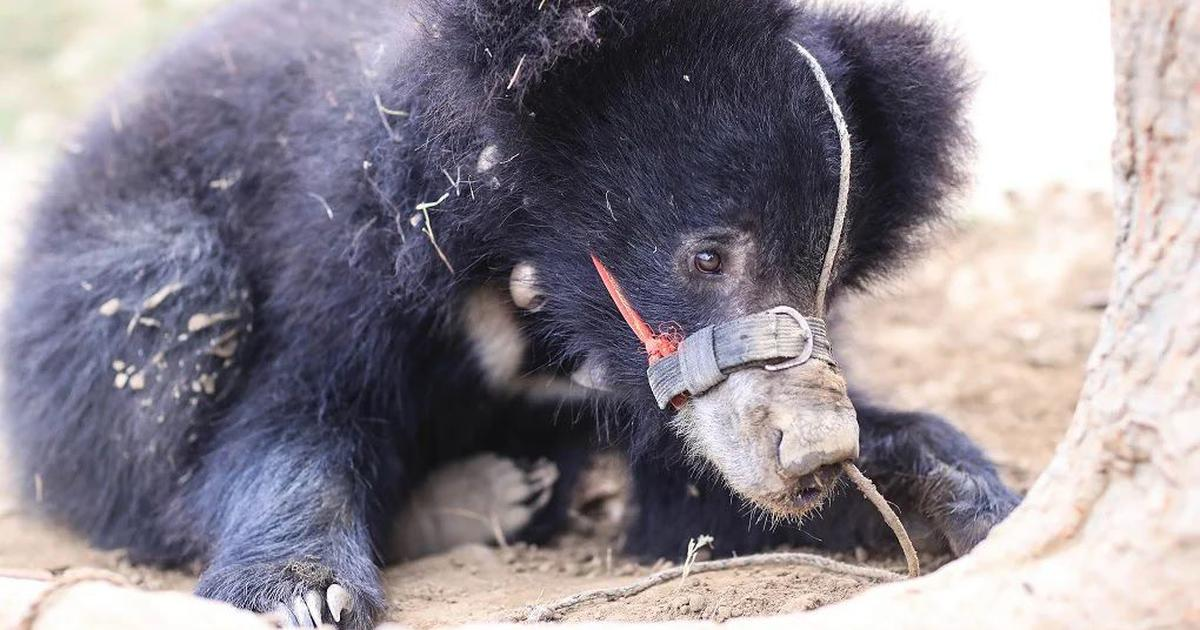 A sloth bear rescued from torture is now caught in a tug-of-war between Nepal and Indian activists