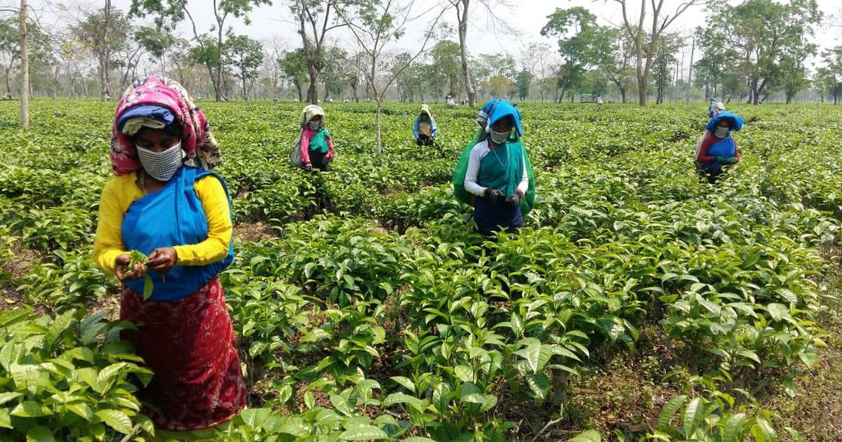 On Assam's tea plantations, a water crisis has made it difficult to contain the spread of Covid-19