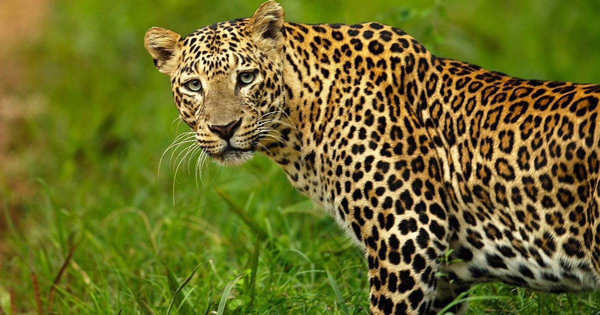 India's leopard population declined by 90% over two centuries, suggests study