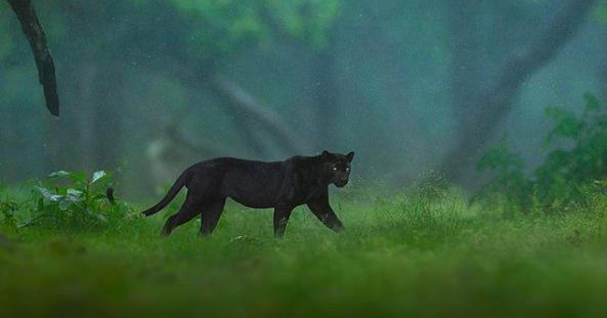 Karnataka: Black panther spotted in Nagarhole National Park